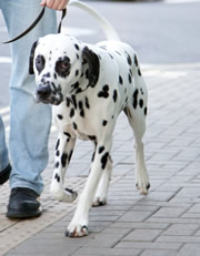 Flekk the Dalmation - came third in his class it Crufts! Here he is practising his lead walking in the street.